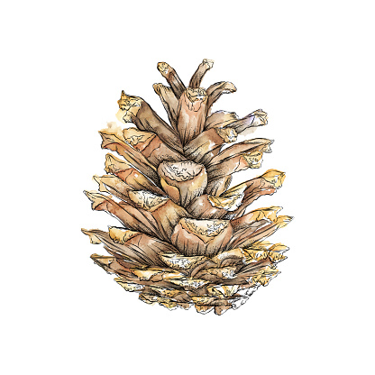 Red Pine Tree Pine Cone in Watercolor and Ink. Vector EPS10 Illustration