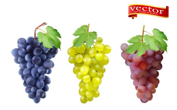 bildbanksillustrationer, clip art samt tecknat material och ikoner med röd, rosa muscatel och vita bords druvor, vindruvor. - vindruva