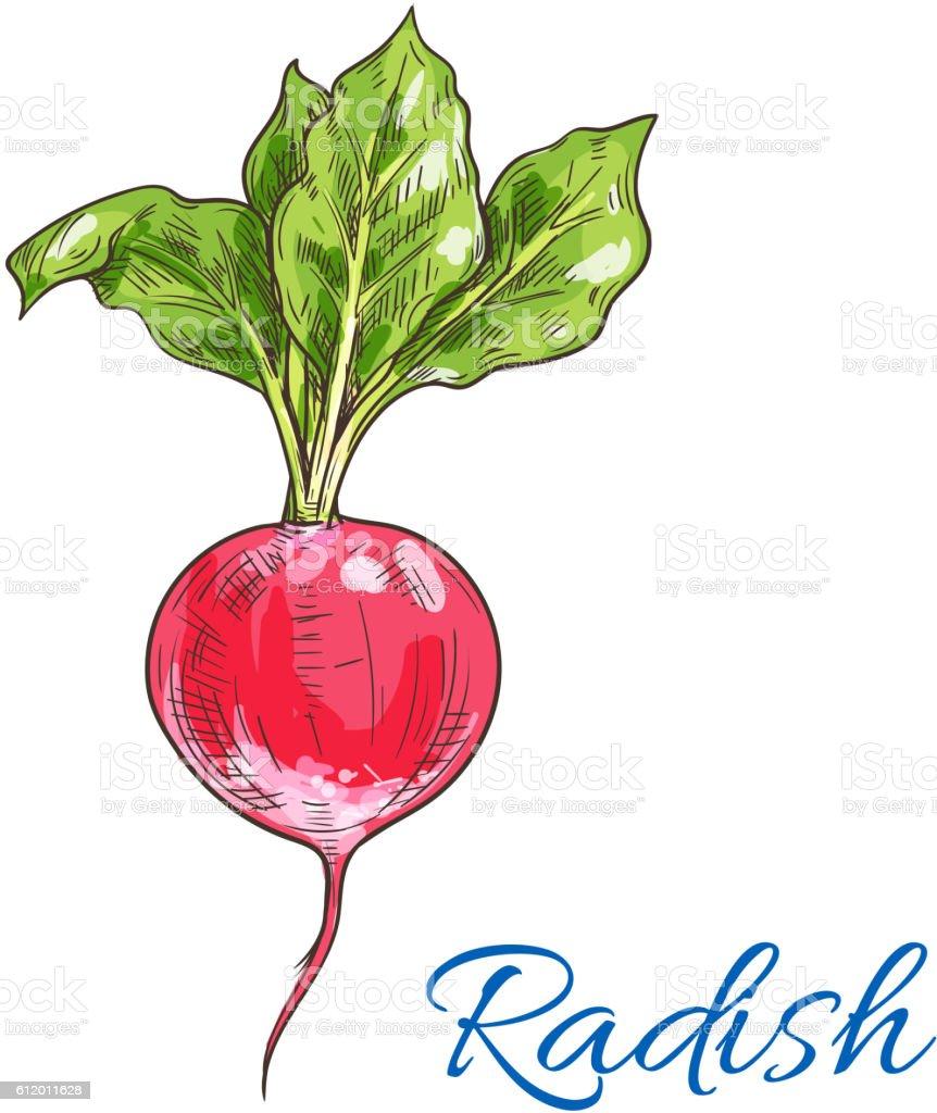 Red radish vegetable sketch for farming design vector art illustration