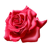Red rose on white background, realistic 3D rose, vector illustration