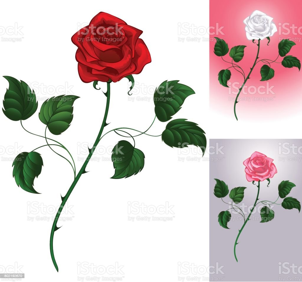 red rose on white vector art illustration