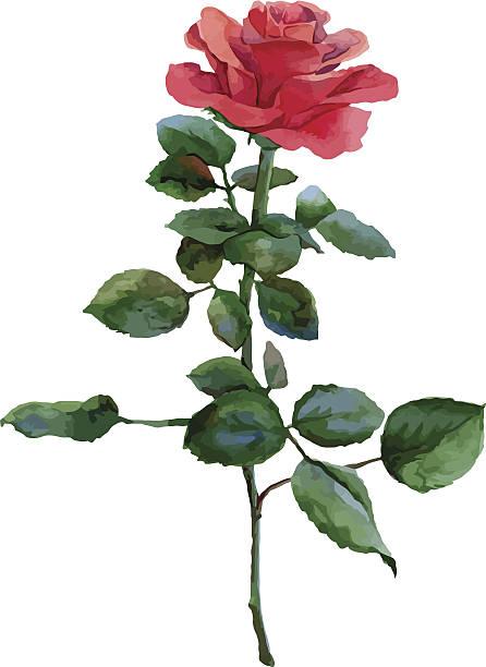 illustrazioni stock, clip art, cartoni animati e icone di tendenza di rosa rossa - mika