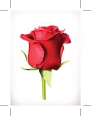 Red rose, vector illustration