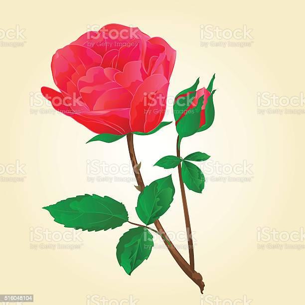 Red rose with bud vector vector id516048104?b=1&k=6&m=516048104&s=612x612&h=xdiuirj757qrcekuj9gh6btl98olssradby3vqsw1u8=