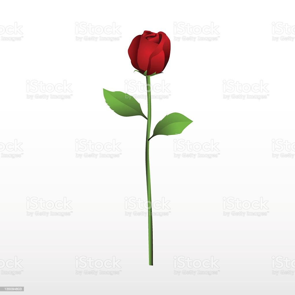 Red rose with it's stalk and leaves on a white background