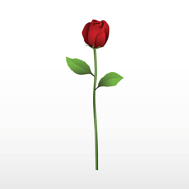 Red rose with it's stalk and leaves on a white background Red Rose plant stem stock illustrations