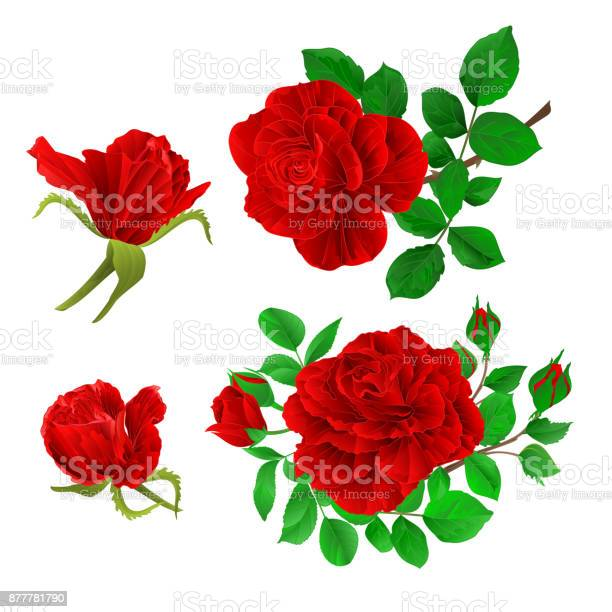 Red roses with buds and leaves vintage on a white background set vector id877781790?b=1&k=6&m=877781790&s=612x612&h=br67di7yfrwcwxsxx19ekwgms0v3ivxjjiincv18hqo=