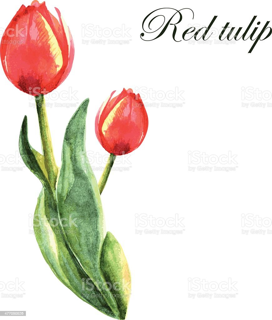 Tulipe rouge stock vecteur libres de droits 477050526 istock - Tulipe a dessiner ...