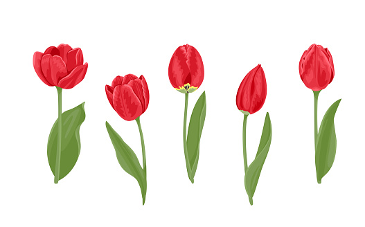 Red tulips of different shapes set. Vector illustration of bright spring flowers with green leaves in cartoon flat style.