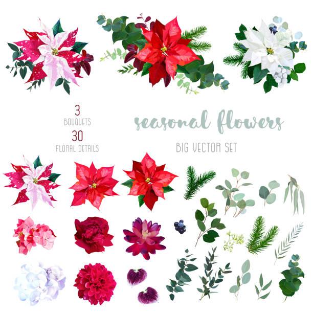 stockillustraties, clipart, cartoons en iconen met rood, wit en gemarmerde poinsettia bloemen, hortensia, pioenroos, dah - kerstster