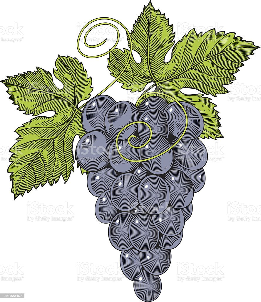Red wine grapes in vintage engraved style royalty-free stock vector art