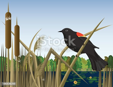 Red Wing Black Bird Perched on Reed in Wetland Marsh