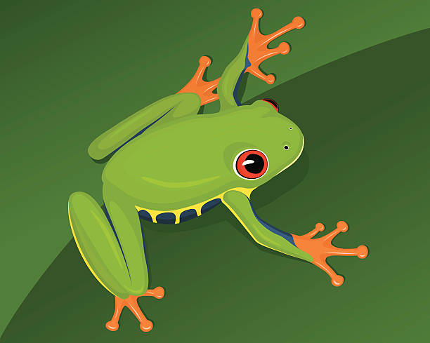 Best Red Eyed Tree Frog Illustrations, Royalty-Free Vector ...