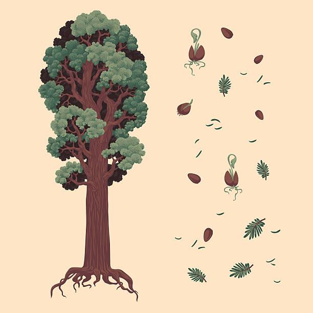 Redwood and seeds Redwood and seeds. Hand drawn vector illustration. Ukraine redwood tree stock illustrations