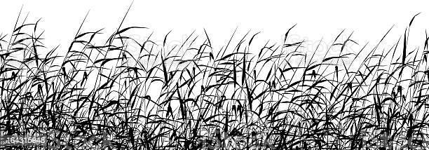 Reed Primeiro Plano - Arte vetorial de stock e mais imagens de Alto - Descrição Física