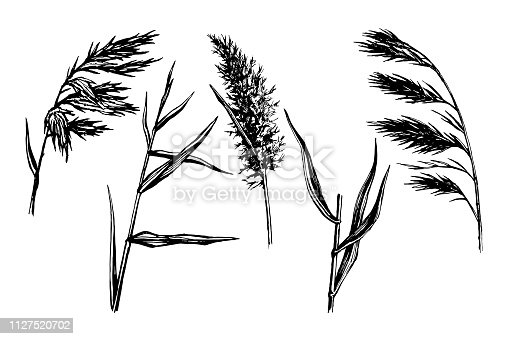 Reed Hand drawn sketch vector  set.  Water plant illustration. Reeds in a pond, doodle style.