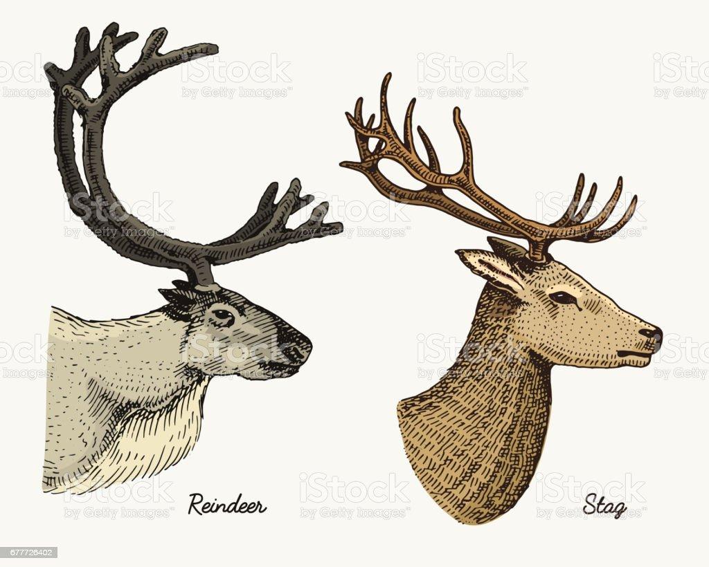 Reindeer And Stag Deer Vector Hand Drawn Illustration