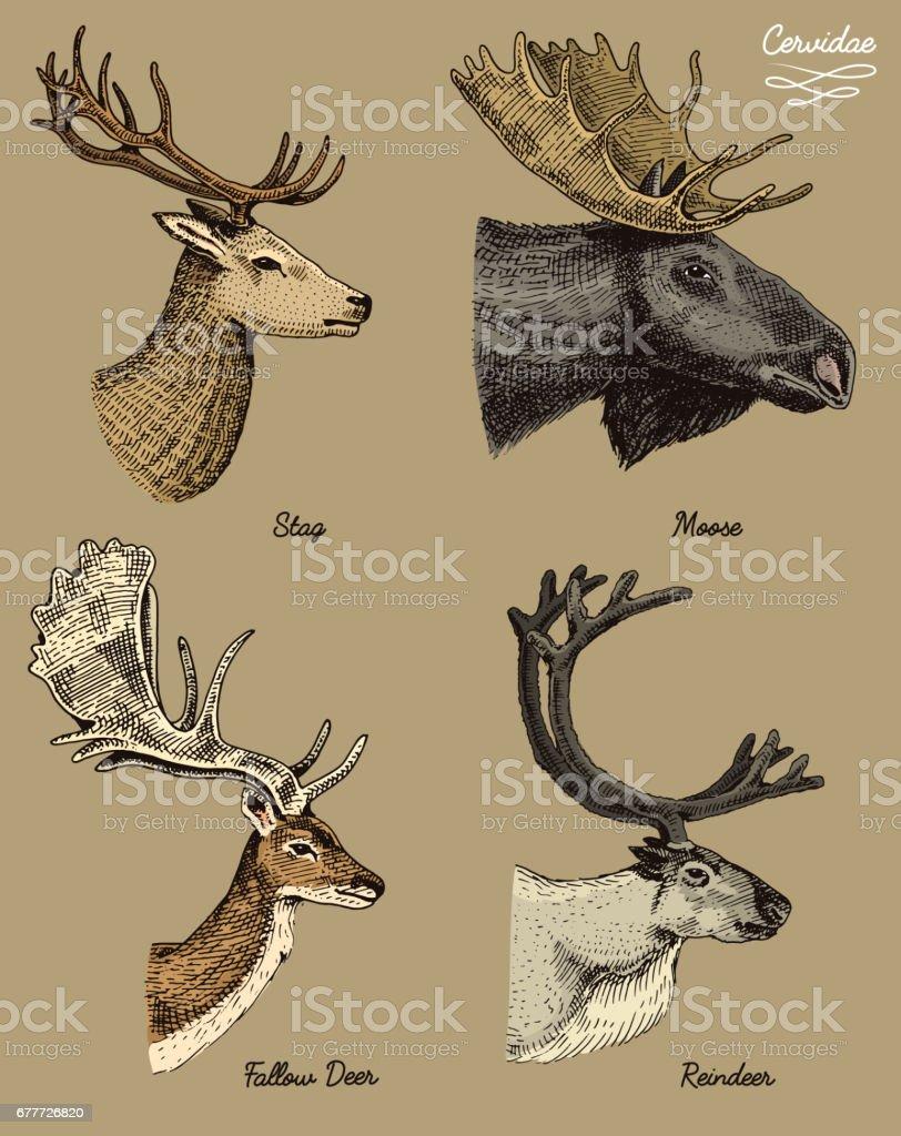 Reindeer Moose Eurasian Elk Doe Roe Deer And Stag Vector Hand Drawn
