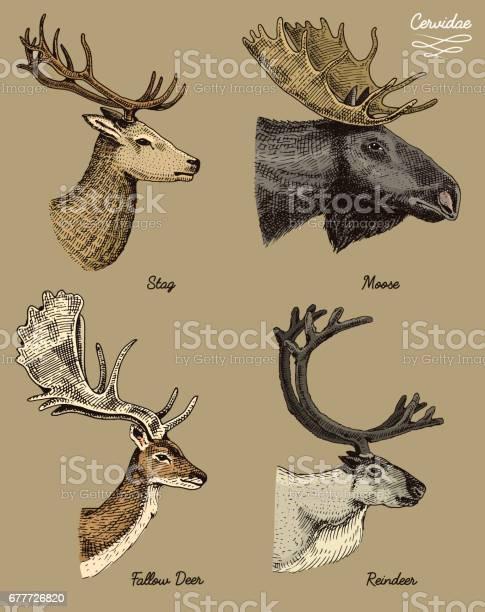 Reindeer moose eurasian elk doe roe deer and stag vector hand drawn vector id677726820?b=1&k=6&m=677726820&s=612x612&h=l5uc1hcwkl hqnt8xc63i74dc9sl4qwjb53ipdex7no=