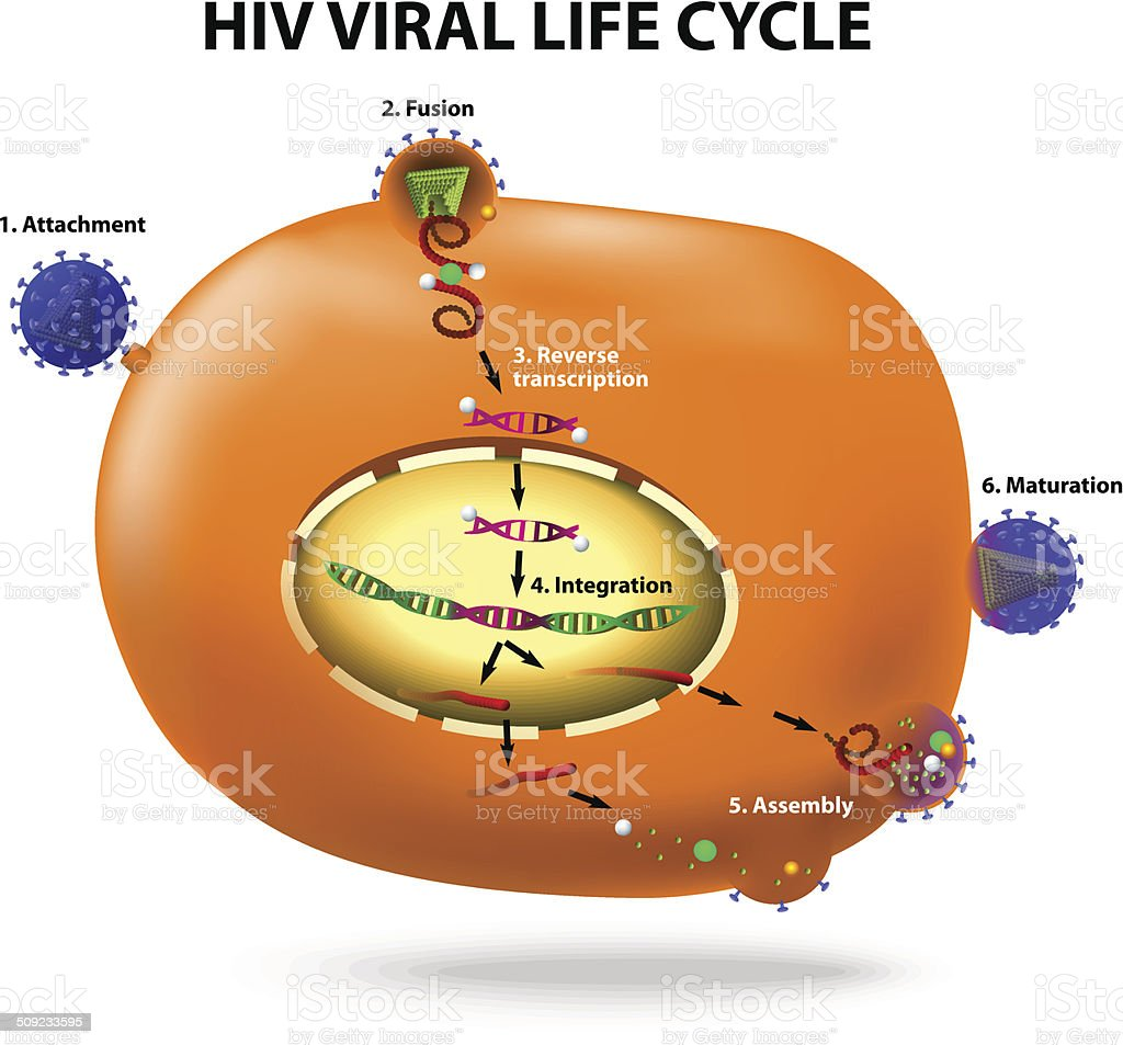 HIV replication cycle vector art illustration