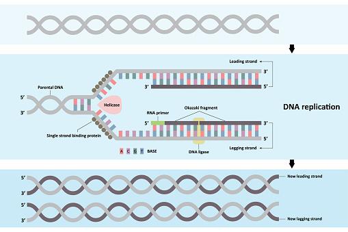 DNA replication diagram
