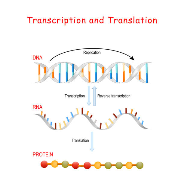DNA Replication, Protein synthesis. ranscription and translation. vector art illustration