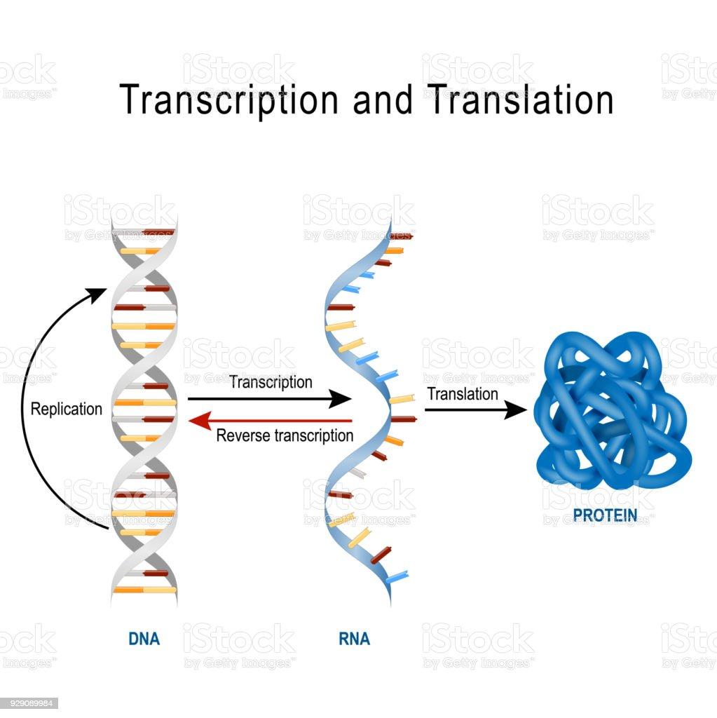 Sintesis proteica transcripcion y traduccion