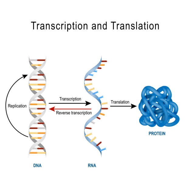 DNA Replication, Protein synthesis, Transcription and translation. vector art illustration