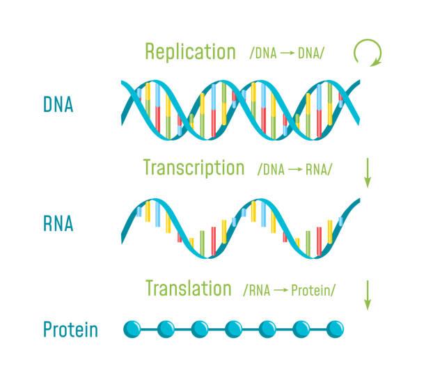 DNA Replication, Transcription and Translation DNA Replication, Transcription and Translation. The Central Dogma of Molecular Biology. Vector illustration chromosome stock illustrations