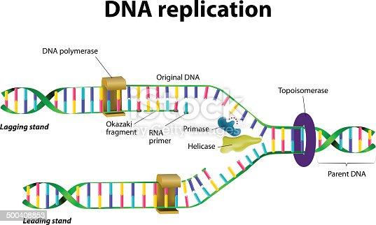 istock DNA replication 500408853