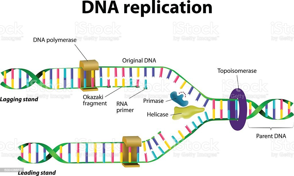 DNA replication vector art illustration