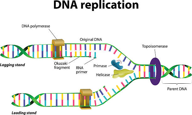 dna replication - repetition stock illustrations