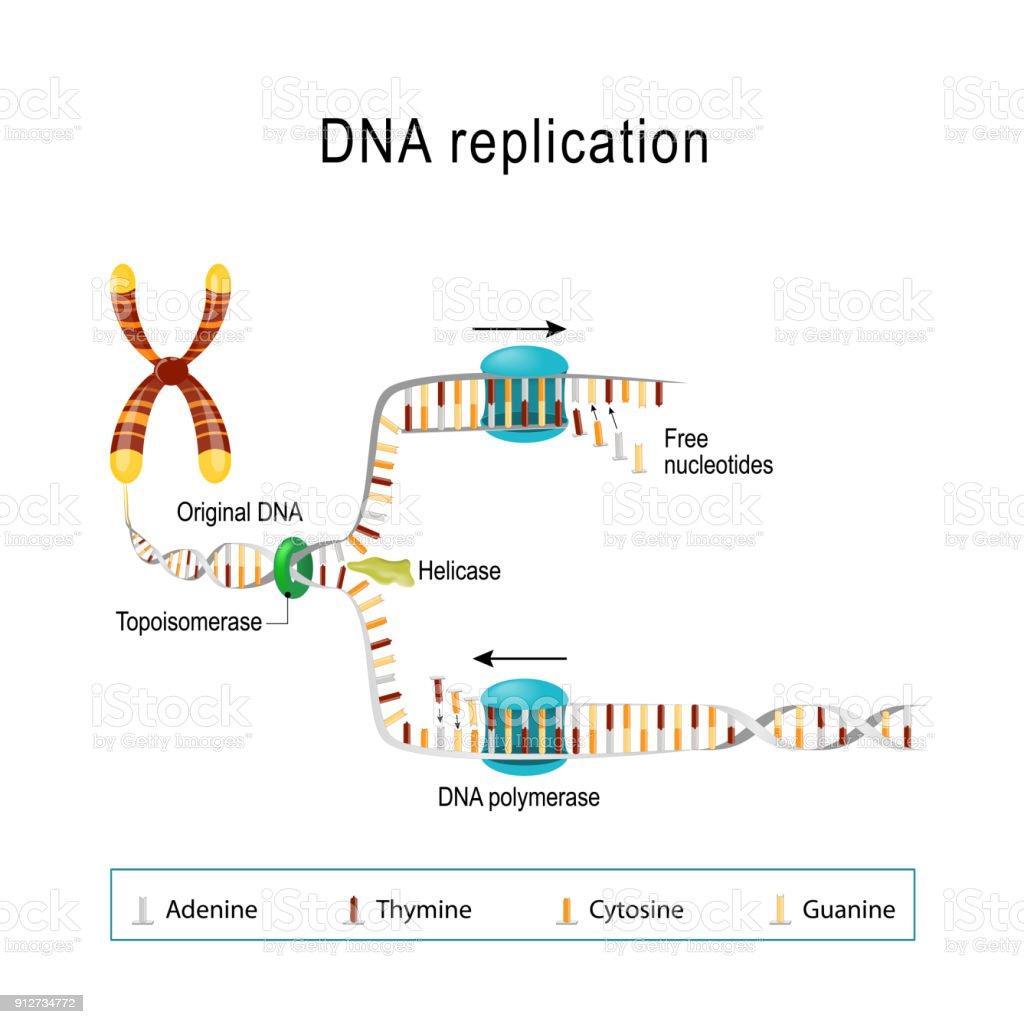DNA replication. vector art illustration