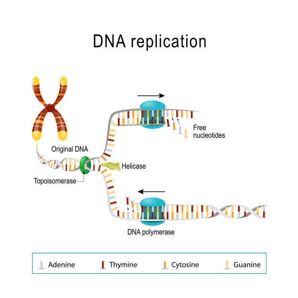 DNA replication. DNA replication. double helix is unwound. Each separated strand acts as a template for replicating a new strand. Free Nucleotides are matched to synthesize the new partner strands into two new double helices. Vector diagram for scientific, medical, and educational use chromosome stock illustrations