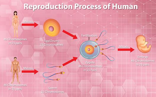 Reproductive process of human