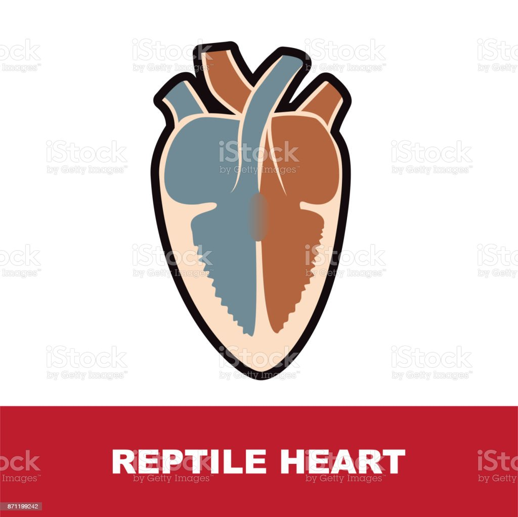 Reptile Heart Anatomy Stock Vector Art More Images Of Anatomy