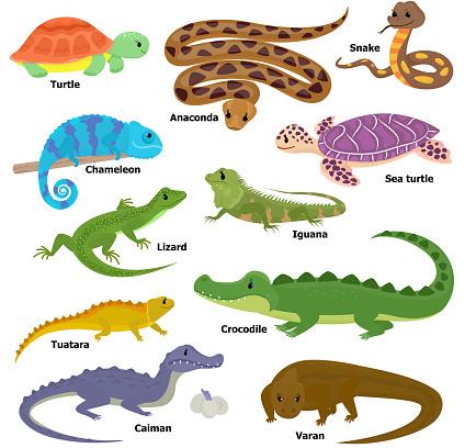 Reptile vector animal reptilian character lizard turtle iguana and chameleon pet illustration set of crocodile varan dragon isolated on white background.