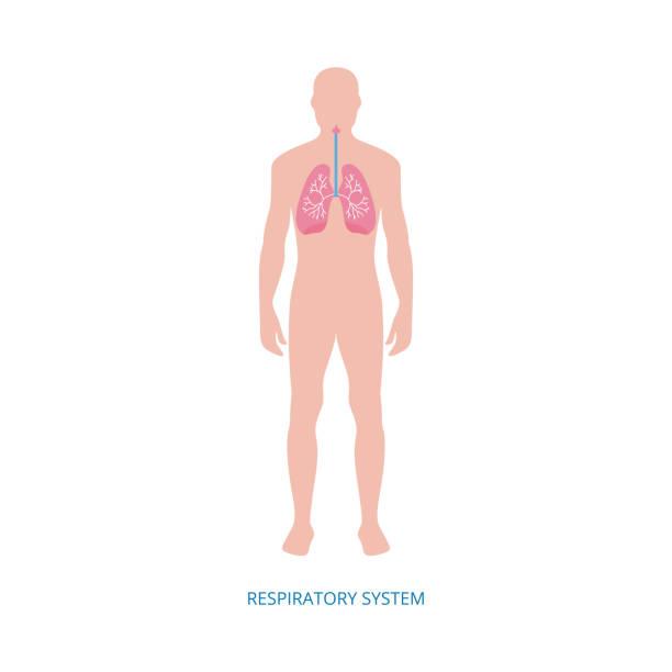 illustrations, cliparts, dessins animés et icônes de système respiratoire - diagramme d'anatomie humaine de l'homme de dessin animé avec des poumons roses - partie du corps d'un animal