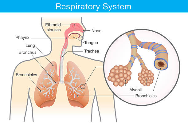 Respiratory system of human Respiratory system of human. This illustration about anatomy and physiology. biomedical illustration stock illustrations