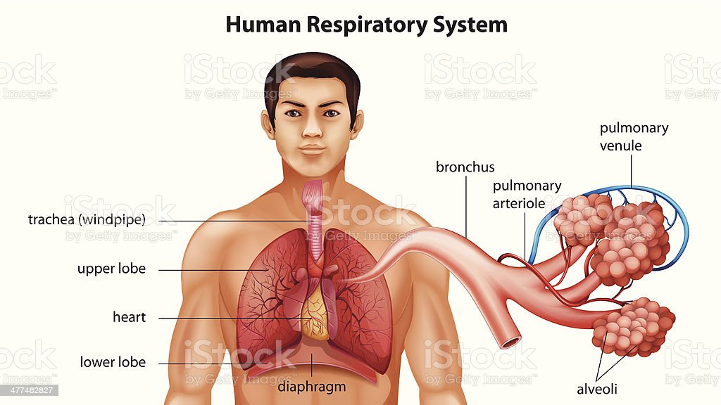 Respiratory System of Humans royalty-free stock vector art