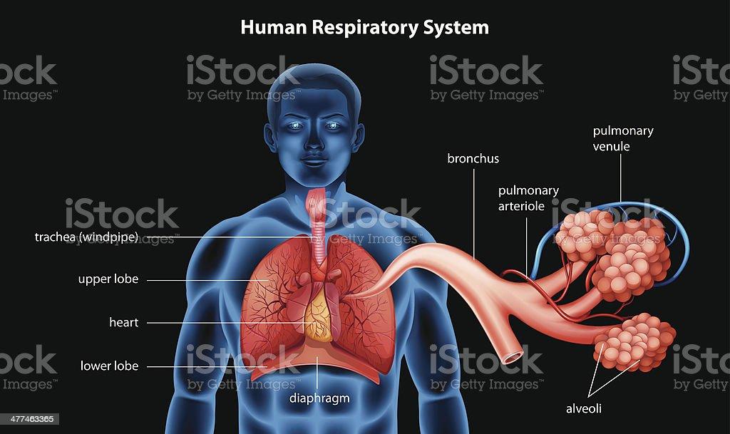 Respiratory System vector art illustration