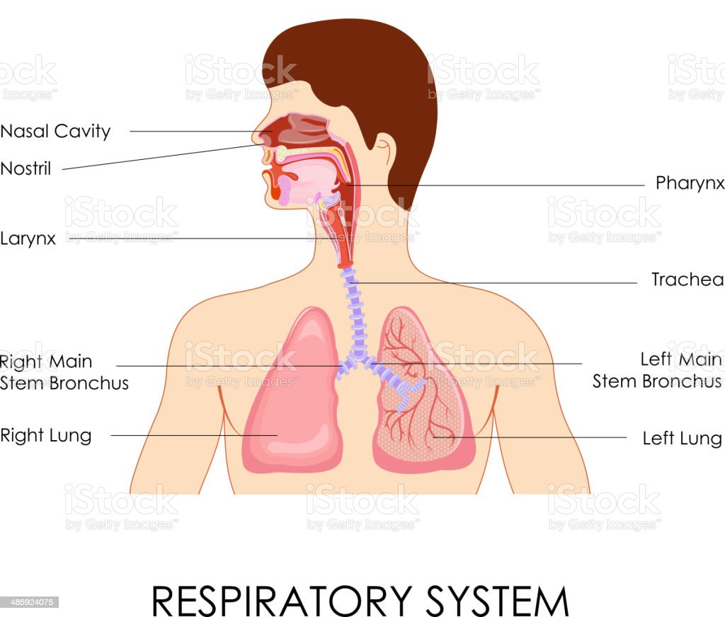 Respiratory System vector art illustration