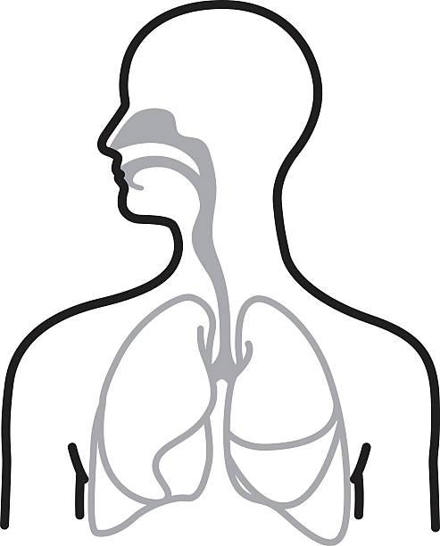 Respiratory system Line art illustration of a human respiratory system. respiratory system stock illustrations