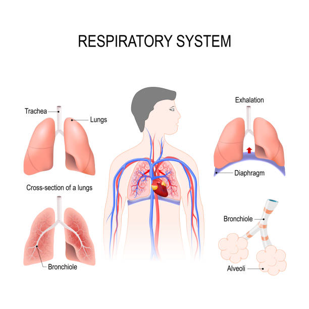 Royalty Free Respiratory System Clip Art, Vector Images ...