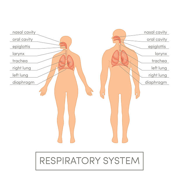 Respiratory system vector Respiratory system of a human. Cartoon vector illustration for medical atlas or educational textbook. Male and female physiology. respiratory tract stock illustrations