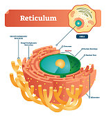 Reticulum labeled vector illustration scheme. Anatomical diagram with endoplasmic reticulum. Closeup with cisternae, nucleus, ribosomes, nuclear envelope and pore.