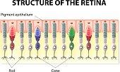 Retina structure
