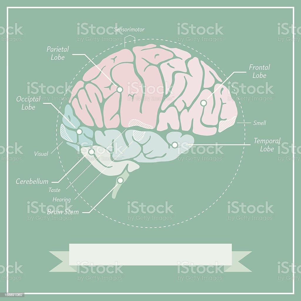 Retro Cerebro Diagrama Illustracion Libre de Derechos 158891060 | iStock