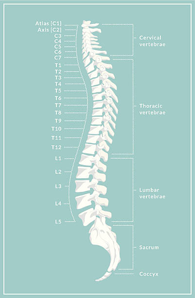 Retro Spine Diagram A retro style diagram of the human spine showing the side view with different regions and vertebrae labelled. This is an editable EPS 10 vector illustration with CMYK color space. medical diagrams stock illustrations