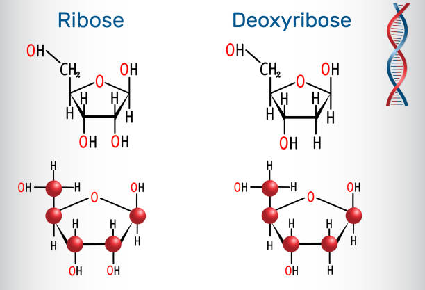 Ribose and deoxyribose molecules, they are monosaccharides and form part of the backbone of DNA and RNA Ribose and deoxyribose molecules, they are monosaccharides and form part of the backbone of DNA and RNA. Structural chemical formula and molecule model. Vector illustration carbohydrate biological molecule stock illustrations
